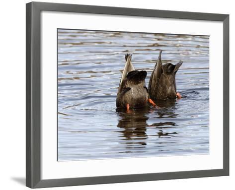 American Black Ducks (Anas Rubripes) Feeding-Garth McElroy-Framed Art Print