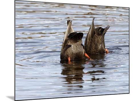 American Black Ducks (Anas Rubripes) Feeding-Garth McElroy-Mounted Photographic Print
