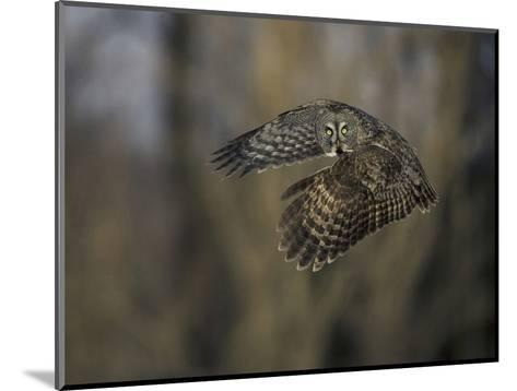 Great Gray Owl Flying at Dusk (Strix Nebulosa), North America-Joe McDonald-Mounted Photographic Print