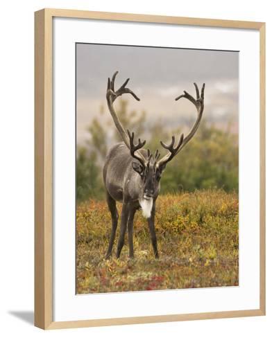 Barren-Ground Caribou (Rangifer Tarandus Groenlandicus) on the Tundra of Denali National Park, USA-Joe McDonald-Framed Art Print