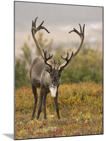Barren-Ground Caribou (Rangifer Tarandus Groenlandicus) on the Tundra of Denali National Park, USA-Joe McDonald-Mounted Photographic Print