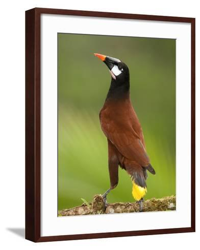 Montezuma's Oropendola (Psarocolius Oropendola), Arenal, Costa Rica-Mary Ann McDonald-Framed Art Print