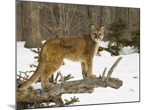 Mountain Lion (Felis Concolor) Standing on a Log-Jack Milchanowski-Mounted Photographic Print