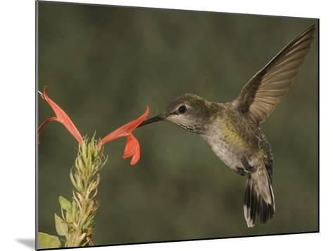 Anna's Hummingbird Female (Calypte Anna) Feeding at a Red Tubular Justicia Candicans Flower, USA-Charles Melton-Mounted Photographic Print