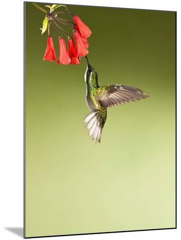 White-Throated Mountain-Gem Hummingbird Nectaring at a Red Tubular Flower-Joe McDonald-Mounted Photographic Print