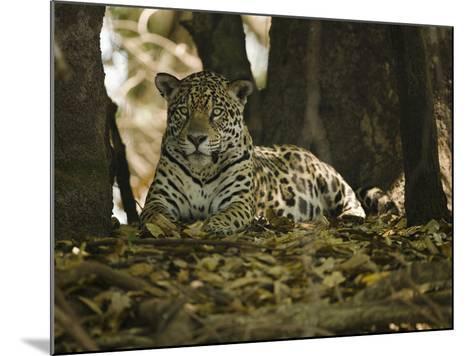 Jaguar (Panthera Onca) Along a Riverbank in Brazil's Pantanal Wetlands-Joe McDonald-Mounted Photographic Print