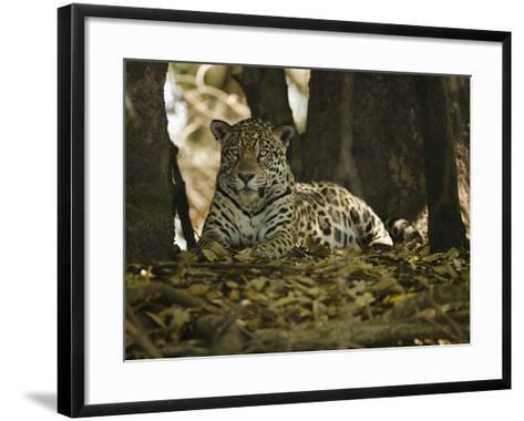 Jaguar (Panthera Onca) Along a Riverbank in Brazil's Pantanal Wetlands-Joe McDonald-Framed Art Print