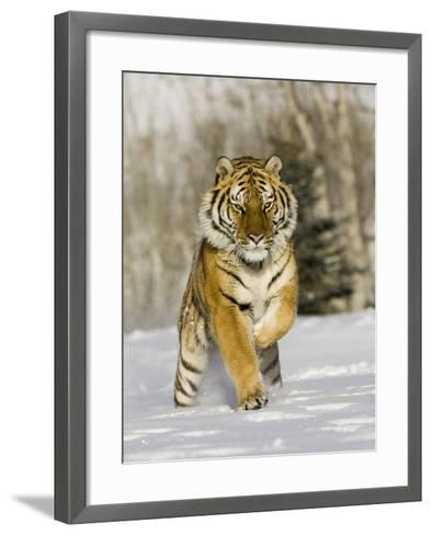 A Siberian Tiger Running in the Snow (Panthera Tigris Altaica), an Endangered Species-Joe McDonald-Framed Art Print