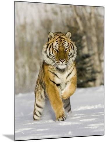 A Siberian Tiger Running in the Snow (Panthera Tigris Altaica), an Endangered Species-Joe McDonald-Mounted Photographic Print