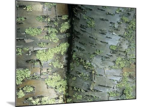 Lichens Growing on the Bark of Paper Birch Trees, Betula Papyrifera, USA-Joe McDonald-Mounted Photographic Print