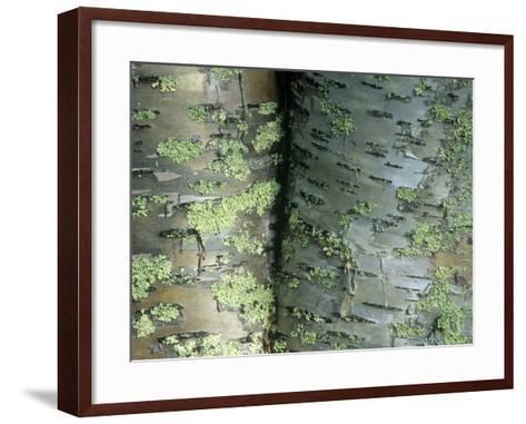 Lichens Growing on the Bark of Paper Birch Trees, Betula Papyrifera, USA-Joe McDonald-Framed Art Print