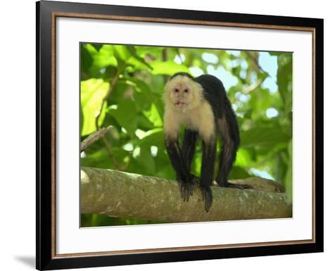 White-Throated Capuchin (Cebus Capucinus), Cahuita National Park, Costa Rica-Thomas Marent-Framed Art Print