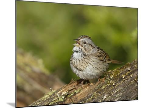 Lincoln's Sparrow Singing-Garth McElroy-Mounted Photographic Print