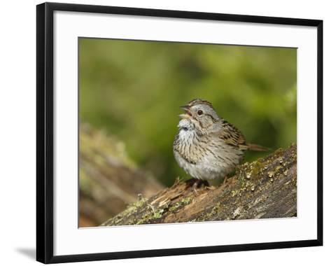 Lincoln's Sparrow Singing-Garth McElroy-Framed Art Print