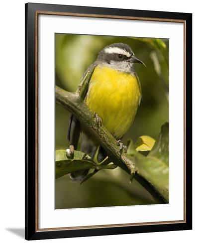 Bananaquit, Coereba Flaveola, Northern South America-Joe McDonald-Framed Art Print