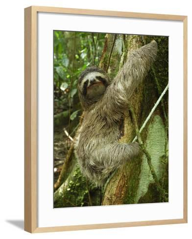 Brown-Throated Three-Toed Sloth (Bradypus Variegatus), Cahuita National Park, Costa Rica-Thomas Marent-Framed Art Print