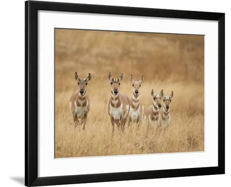 Pronghorn (Antilocapra Americana) Group Standing in a Field in Yellowstone National Park, USA-Joe McDonald-Framed Art Print