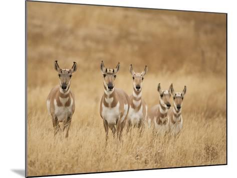 Pronghorn (Antilocapra Americana) Group Standing in a Field in Yellowstone National Park, USA-Joe McDonald-Mounted Photographic Print