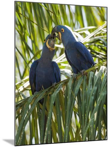 Hyacinth Macaw (Anodorhynchus Hyacinthinus) Pantanal, Brazil-Mary Ann McDonald-Mounted Photographic Print