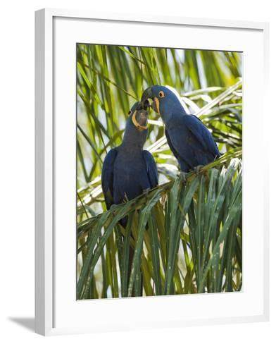 Hyacinth Macaw (Anodorhynchus Hyacinthinus) Pantanal, Brazil-Mary Ann McDonald-Framed Art Print