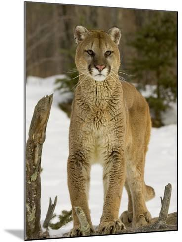 Mountain Lion (Felis Concolor) Standing on a Log-Jack Milchanowski-Mounted Photographic Print