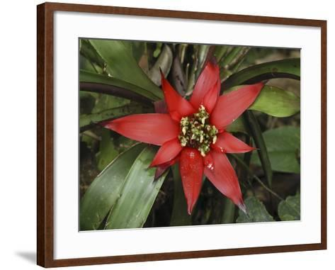 Bromeliad Flower, San Cipriano Reserve, Cauca, Colombia-Thomas Marent-Framed Art Print