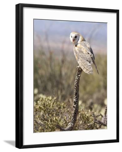 Barn Owl (Tyto Alba), Arizona, USA, Controlled Situation-Mary Ann McDonald-Framed Art Print