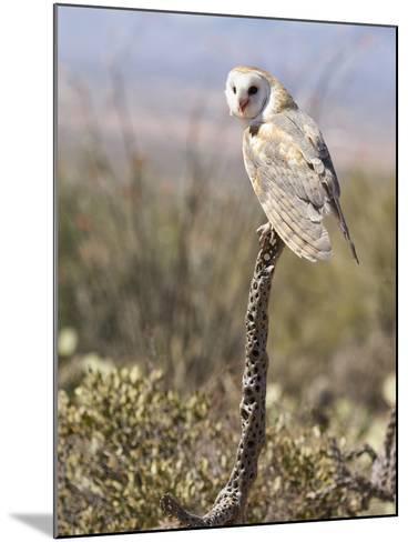 Barn Owl (Tyto Alba), Arizona, USA, Controlled Situation-Mary Ann McDonald-Mounted Photographic Print