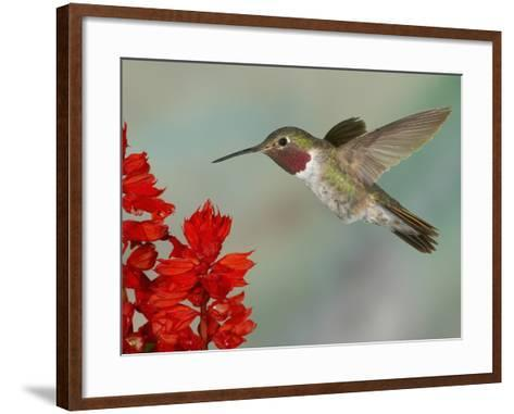 Broad-Tailed Hummingbird (Selasphorus Platycercus) Male Flying-Jack Milchanowski-Framed Art Print