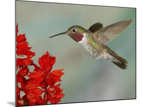 Broad-Tailed Hummingbird (Selasphorus Platycercus) Male Flying-Jack Milchanowski-Mounted Photographic Print