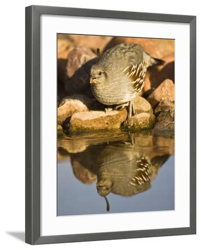 Gambel's Quail at a Desert Waterhole (Callipepla Gambelii), Southwestern USA-Joe McDonald-Framed Art Print