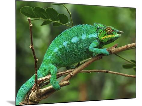 Male Panther Chameleon (Furcifer Pardalis) Lokobe Nature Special Reserve, Northern Madagascar-Thomas Marent-Mounted Photographic Print
