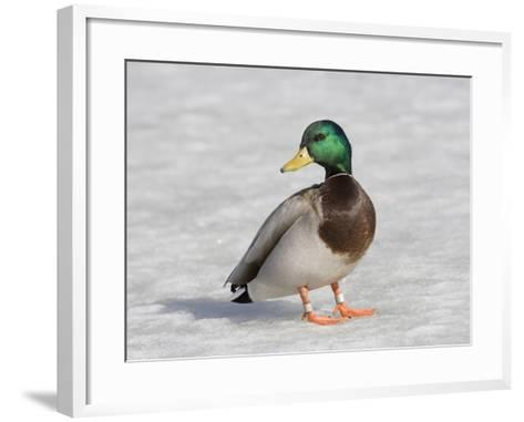 Male Mallard Duck (Anas Platyrhynchos), Montana, USA-Neal Mischler-Framed Art Print