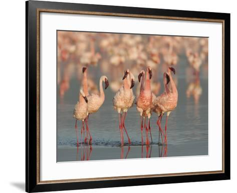 Lesser Flamingos Doing their Courtship Dance, Phoenicopterus Minor, Lake Nakuru, Kenya, Africa-Arthur Morris-Framed Art Print