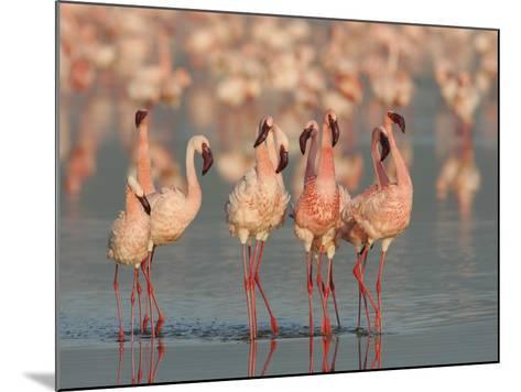 Lesser Flamingos Doing their Courtship Dance, Phoenicopterus Minor, Lake Nakuru, Kenya, Africa-Arthur Morris-Mounted Photographic Print