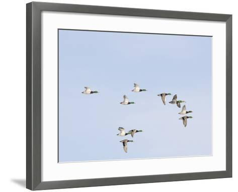 Male and Female Mallard Ducks (Anas Platyrhynchos), Montana, USA-Neal Mischler-Framed Art Print