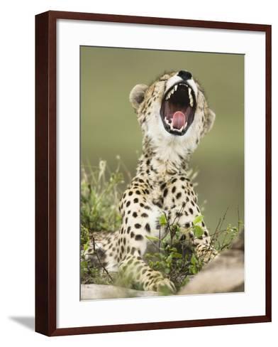 Cheetah with its Mouth Open, Showing its Teeth and Tongue (Acinonyx Jubatus)-Joe McDonald-Framed Art Print