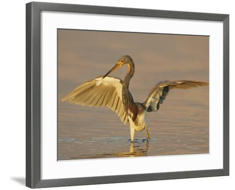 Tricolored Heron in Winter Plumage with its Wings Lifted While Fishing, Egretta Tricolor, Florida-Arthur Morris-Framed Art Print