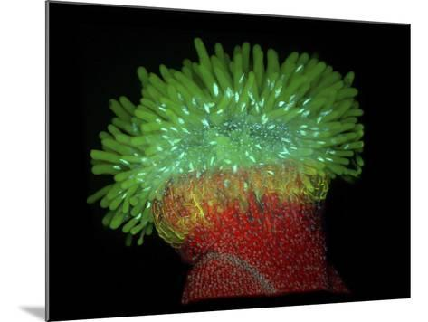 Thale Cress or Mouseear Cress (Arabidopsis Thaliana) Stigma, Confocal X20-Heiti Paves-Mounted Photographic Print