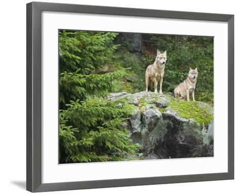 Gray Wolves (Canis Lupus), Bavarian Forest National Park, Germany, Europe-Fritz Polking-Framed Art Print
