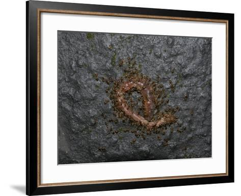 Ants Eating a Dead Earthworm-Robert & Jean Pollock-Framed Art Print