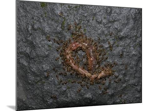Ants Eating a Dead Earthworm-Robert & Jean Pollock-Mounted Photographic Print