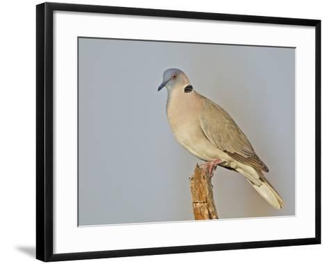 African Morning Dove, Streptopelia Decipiens, Africa-Arthur Morris-Framed Art Print