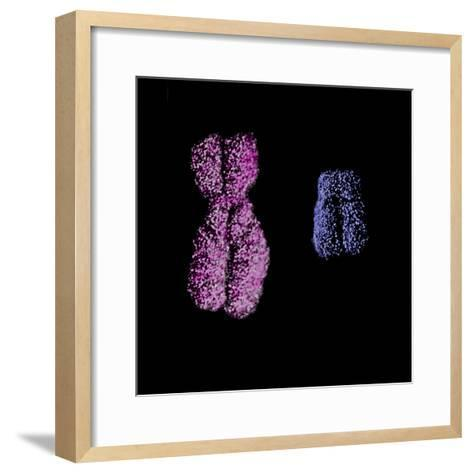 "Human X Chromosome (Pink) and the Y Chromosome (Blue), SEM X3000 At 3"" X 3""-Gopal Murti-Framed Art Print"