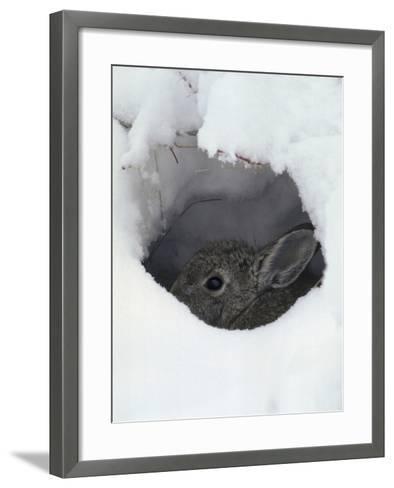 Mountain Cottontail (Sylvilagus Nuttallii) Hiding in a Hole in the Snow, Front Range, Colorado-Robert & Jean Pollock-Framed Art Print
