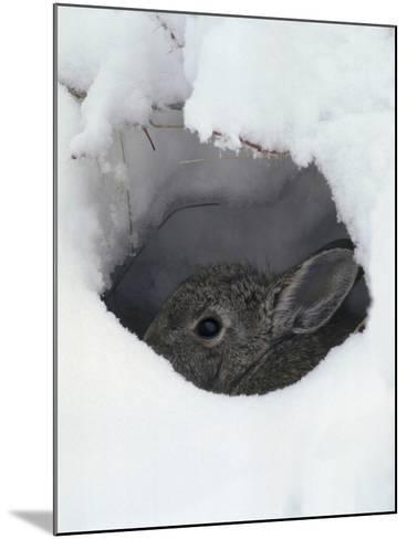 Mountain Cottontail (Sylvilagus Nuttallii) Hiding in a Hole in the Snow, Front Range, Colorado-Robert & Jean Pollock-Mounted Photographic Print