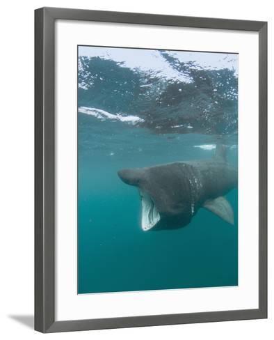 Basking Shark (Cetorhinus Maximus) with its Open Mouth Feeding on Plankton-Louise Murray-Framed Art Print