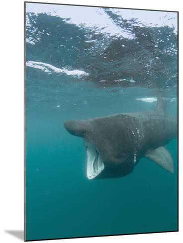 Basking Shark (Cetorhinus Maximus) with its Open Mouth Feeding on Plankton-Louise Murray-Mounted Photographic Print