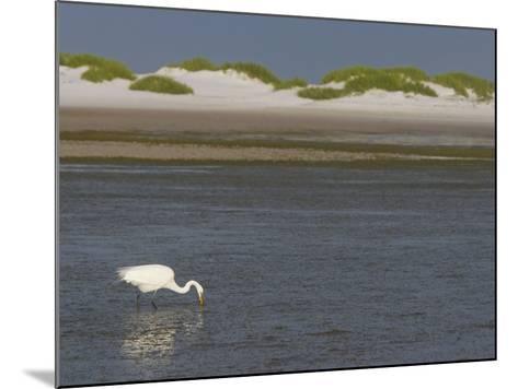 Great Egret Hunting in a Lagoon Behind Coastal Sand Dunes, Ardea Alba, Fort Desoto Park, Florida-Arthur Morris-Mounted Photographic Print