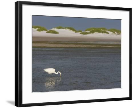 Great Egret Hunting in a Lagoon Behind Coastal Sand Dunes, Ardea Alba, Fort Desoto Park, Florida-Arthur Morris-Framed Art Print